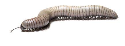 Cenipede Стоковое Фото
