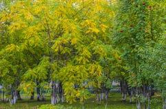 Ceniza-árbol, árboles con las hojas amarillas Fotos de archivo libres de regalías