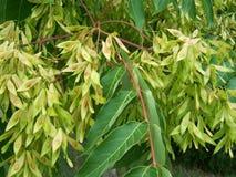 Ceniza-árbol Fotografía de archivo
