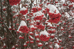 Ceniza de montaña de las ramas cubierta con nieve y pedazos de hielo Imágenes de archivo libres de regalías