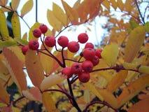 Ceniza de montaña en el otoño foto de archivo libre de regalías