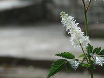 Ceniza de montaña floreciente Fotografía de archivo