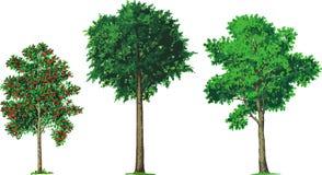Ceniza de montaña, haya y árboles de ceniza. Vector Fotografía de archivo