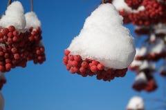 Ceniza de montaña hermosa de la rama cubierta con nieve Imágenes de archivo libres de regalías