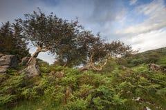 Ceniza de montaña impedida en Skye en Escocia Imagen de archivo libre de regalías