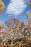 Ceniza de montaña o Sorbus Aucuparia Imagen de archivo