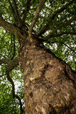 Ceniza europea (virutas para rellenar) del Fraxinus - visión de abajo hacia arriba Fotos de archivo libres de regalías