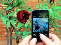Cenna rzadka czarna peonia, przyciąga turystów wziąć fotografie Fotografia Stock