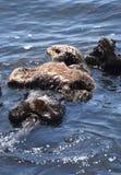 Cennego dziecka Denna wydra Odpoczywa na Dorosłym Dennej wydry żołądku obrazy stock