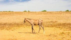 Cenni storici del cavallo Immagine Stock Libera da Diritti