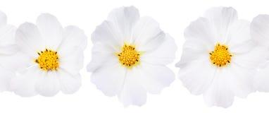 Cenni storici del fiore bianco Fotografia Stock