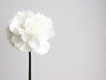 Cenni storici del fiore bianco Immagini Stock