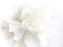 Cenni storici del fiore bianco Fotografia Stock Libera da Diritti