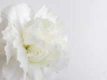 Cenni storici del fiore bianco Immagine Stock