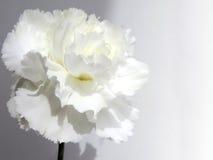 Cenni storici del fiore bianco Fotografie Stock