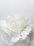 Cenni storici del fiore bianco Immagini Stock Libere da Diritti