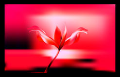 Cenny Złoty kwiat w godzinie świt Leluja delikatna i krucha przy Złotymi godzinami Obraz Royalty Free