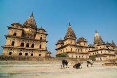 Cenotaphs at Orchha, Madhya Pradesh. Also spelled Orcha, famous travel destination in India. Cows, blue sky, wide angle. Cenotaphs at Orchha, Madhya Pradesh Stock Image