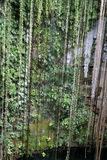 cenote停止的藤 库存照片
