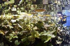cenote μαξιλάρια κρίνων στοκ εικόνες