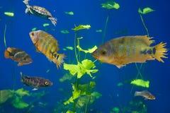 Cenote sinkhole Cichlids fishes Riviera Maya royalty free stock image