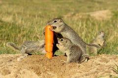 Cenoura cortante europeia do esquilo à terra Foto de Stock