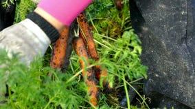 Cenoura crua em uma plantação vídeos de arquivo