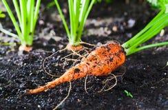 Cenoura na cama Imagens de Stock