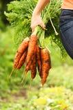 Cenoura orgânica fresca Foto de Stock Royalty Free