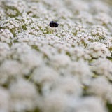 Cenoura selvagem, Apiaceae Fotos de Stock Royalty Free
