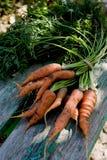 Cenouras da colheita Foto de Stock Royalty Free