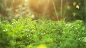 Cenouras da irrigação de gotejamento no jardim vegetal video estoque