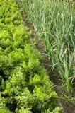 Cenouras e cebolas Foto de Stock Royalty Free