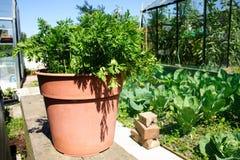 Cenouras em um potenciômetro Fotografia de Stock Royalty Free