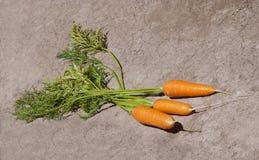 Cenouras frescas Fotografia de Stock