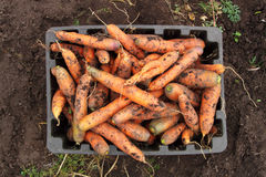 Cenouras frescas na caixa Fotografia de Stock