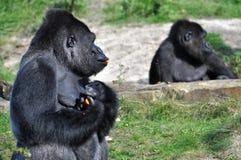 Cenouras loving do gorila Imagens de Stock
