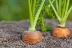 Cenouras na sujeira do jardim Foto de Stock Royalty Free