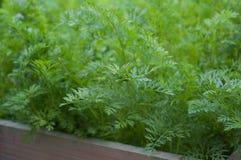 Cenouras no jardim vegetal Imagens de Stock