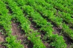 Cenouras orgânicas Imagens de Stock Royalty Free