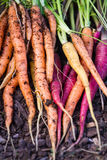 Cenouras orgânicas Fotos de Stock