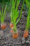 Cenouras orgânicas foto de stock