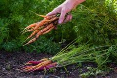 Cenouras orgânicas frescas Imagens de Stock