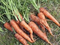 Cenouras orgânicas frescas Fotografia de Stock
