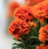 Cenpasuchitl eller zenpasuchitl Blomma av dödaen Grunt djup fotografering för bildbyråer