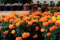 Cenpasuchitl lub zenpasuchitl Kwiat nieboszczyk Płytka głębia zdjęcie royalty free