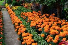 Cenpasuchitl lub zenpasuchitl Kwiat nieboszczyk Płytka głębia obrazy royalty free