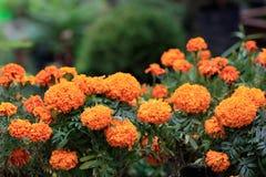 Cenpasuchitl lub zenpasuchitl Kwiat nieboszczyk Płytka głębia obraz stock