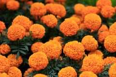 Cenpasuchitl or zenpasuchitl. Flower of the Dead. Shallow depth royalty free stock photos