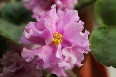Cenpoliya украшает дырочками Terry, цветок комнаты, растет в баке Стоковые Фотографии RF